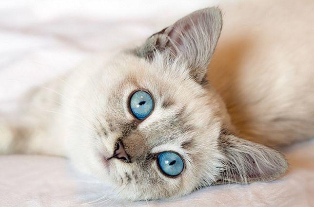 котенок с небесными глазами