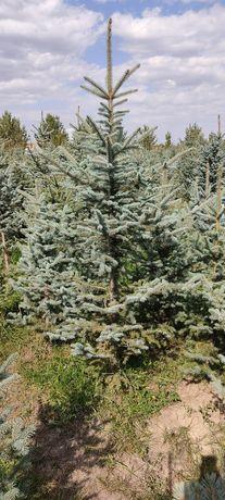 Голубая ель 1.6 - 2.4 метра от 25 тыс. тг., Ёлки оптом и в розницу