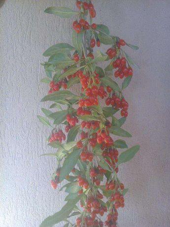 Plante de goji la ghivece