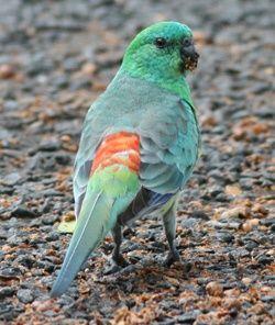 papagali cantaori si Agapornis