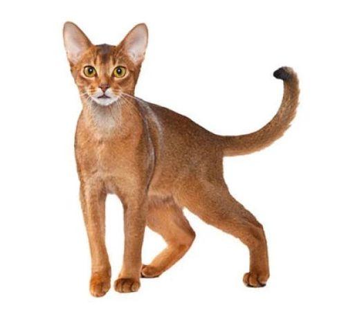 Отдам абиссинскую кошку