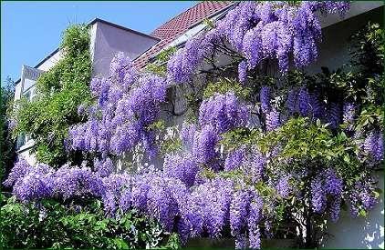 Planta Liana pentru foisor ,albastru -violet,roz,mov,alb*.