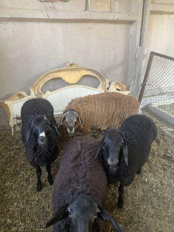 Бараны овцы,қойлар 50к