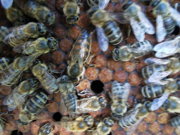 Пчелни майки и отводки 2021