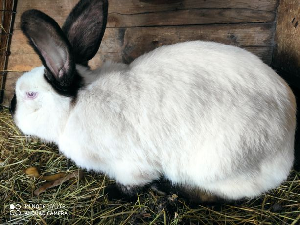 Кролики помесь фландер  и  колифорниец