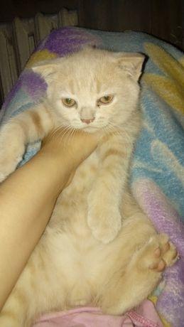 Продам милого плюшевого чистокровного шотландского котёнка! Дата рожде