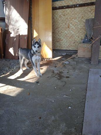 Продам хаски очень умная собака. Сучка 3-4 месяца.