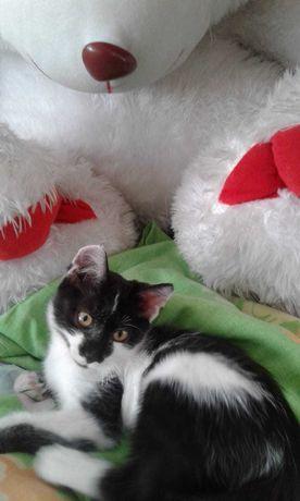 Котенок бело- черный в добрые руки.