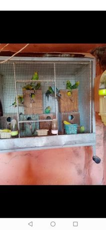 Papagali de vânzare