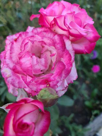 Розы закрытая корневая система