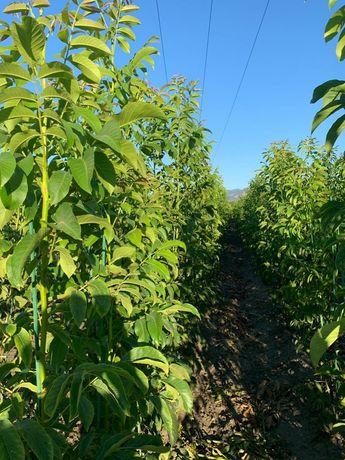 Plante de nuc altoite, puieti de nuc in vitro  Chandler, Lara