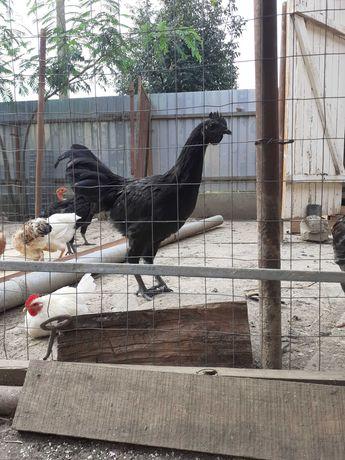 Cocosi Ayam Cemany incrucisat cu Australorp negru