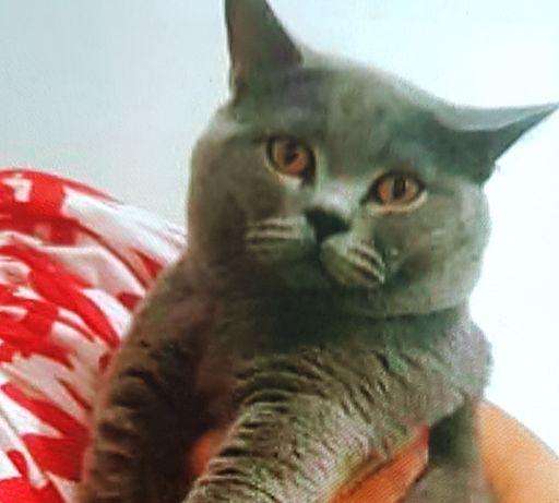 Вязка, кот с родословной, ждёт шотландских и британских невест!