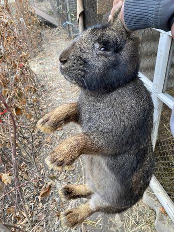 Фландр кролики