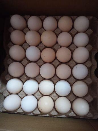 Инкубационное яйцо арбор-айкерс