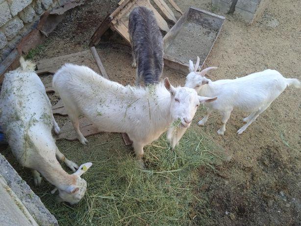 Срочно,  Продаются заайненские козы