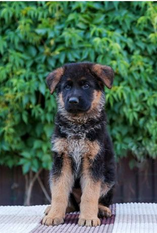 Продается щенок немецкой овчарки.
