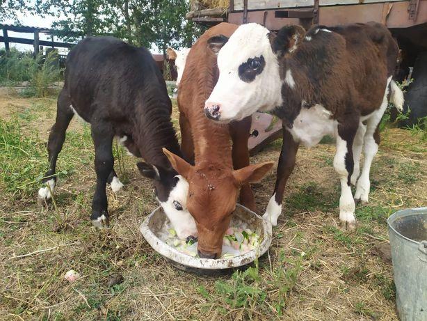 Продам КРС: коров, телят нынешних и прошлогодних