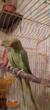Пара ожереловых попугаев
