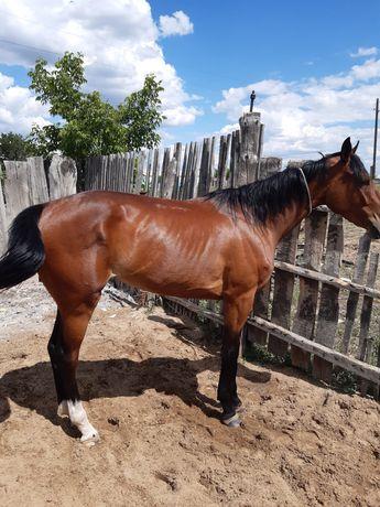 Продам лошадь скаковую чистокровная ,результаты есть ...