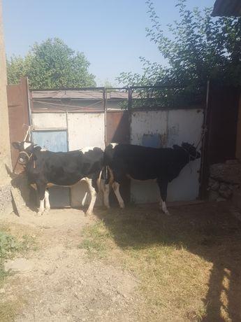 Нетели. Кашарлар. Корова. Сиыр