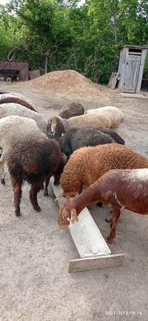 Овцы Валух кастрат ( еркек сектер )