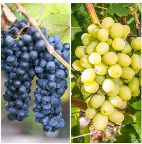 Продам домашний виноград