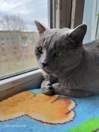 Кот британец в поисках дома