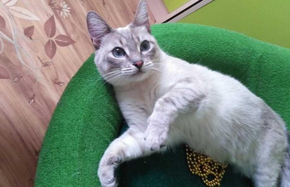 Кошечка тайская стерелизованная Кокшетау - изображение 1