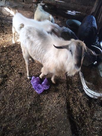 Продам коз баран козлов