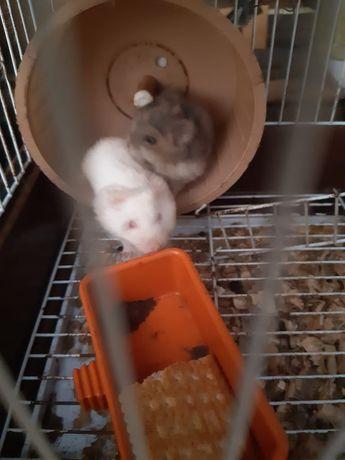 Hamsteri de vanzare