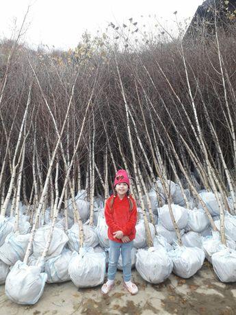 Vand copaci ornamentali mesteacăn teii paltin