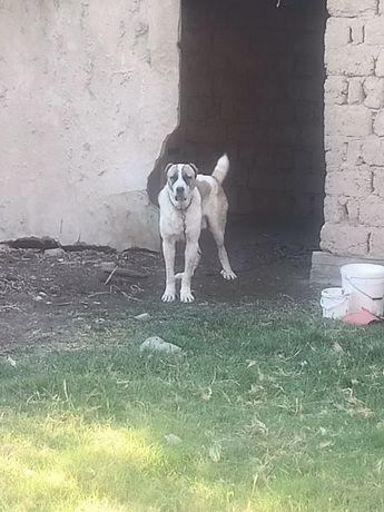 Алабай молодой пес