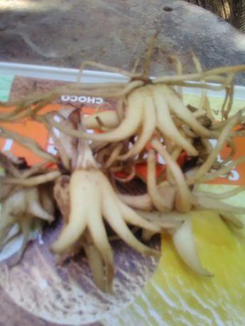 Dactylorhiza maculată (sculătoare)