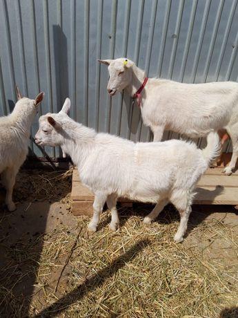 Заненский козел 6 месяцев