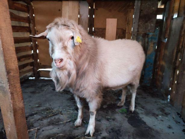 Продается козел заанеской породы