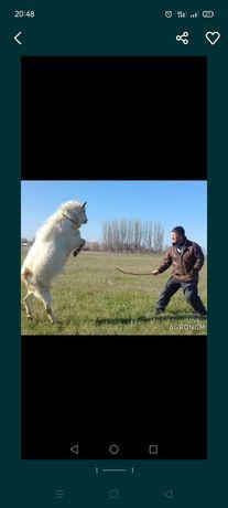 Продам борзого зааненского козла