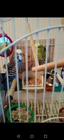 Papagali de vanzare