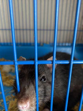 Продам крыса