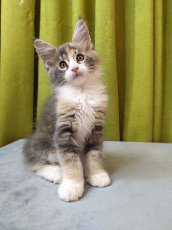 Котята мейн-кун!