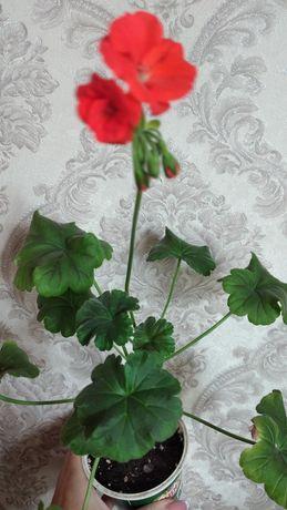 Красная пеларгония