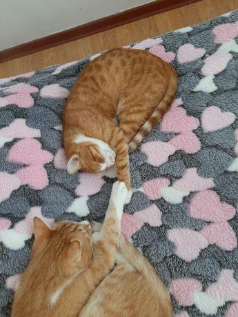 Котята Кошечка стерилизованная