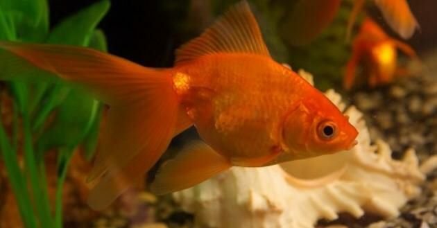 Золотые рыбки ситцевые