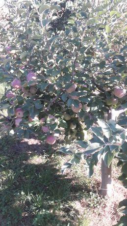 Vand mere soiurile idared,starkinson.florina.