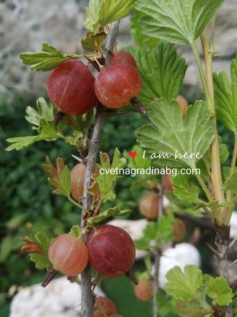 Цариградското грозде