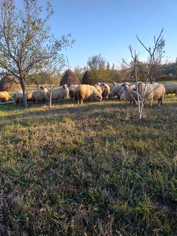 De vînzare 50 oi bune 15 de 2 miei 5 miori și restu 3 și 4 mei