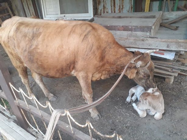 Корова 3 жасар