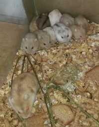 Маленькие хомячки джунгарики с мамой алматы