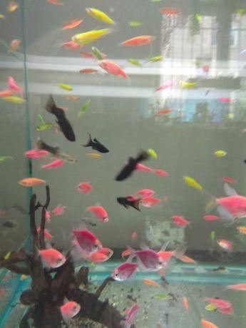Рыбки Данио в Афалине.навоифрунзе