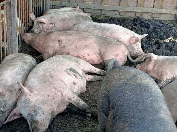Продам  свиней..